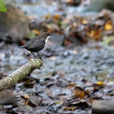 Koskikara. Tämä pieni ja kaunis lintu tuo usein talven tullessaan.