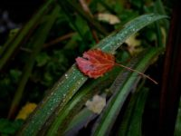 leafs-leaf-lehti-autumncolors-autumn-syksy-colors-helsinki-longinoja-longinojasyksy-visithelsinki-vi