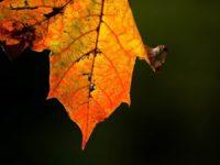 lehti-leaf-syksy-autumn-longinojasyksy-helsinki-finnishnature-finland-myhelsinki-city-luontokuva-luo