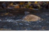 longinoja-longinojasyksy-taimen-trout-kutu-spawn-salmotrutta-puro-sream-creek-nature-naturephoto-nat-1