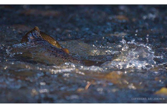 longinoja-longinojasyksy-taimen-trout-kutu-spawn-salmotrutta-puro-sream-creek-nature-naturephoto-nat-2