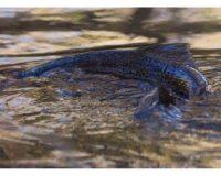 longinoja-longinojasyksy-taimen-trout-kutu-spawn-salmotrutta-puro-sream-creek-nature-naturephoto-nat-3