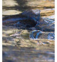 longinoja-longinojasyksy-taimen-trout-kutu-spawn-salmotrutta-puro-sream-creek-nature-naturephoto-nat-4