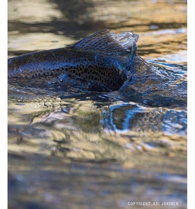 longinoja-longinojasyksy-taimen-trout-kutu-spawn-salmotrutta-puro-sream-creek-nature-naturephoto-nat-4