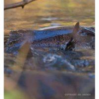 longinoja-longinojasyksy-taimen-trout-kutu-spawn-salmotrutta-puro-sream-creek-nature-naturephoto-nat-5