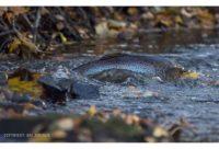 longinoja-longinojasyksy-taimen-trout-kutu-spawn-salmotrutta-puro-sream-creek-nature-naturephoto-nat-6