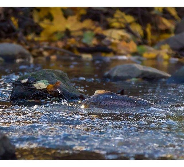longinoja-longinojasyksy-taimen-trout-kutu-spawn-salmotrutta-puro-sream-creek-nature-naturephoto-nat