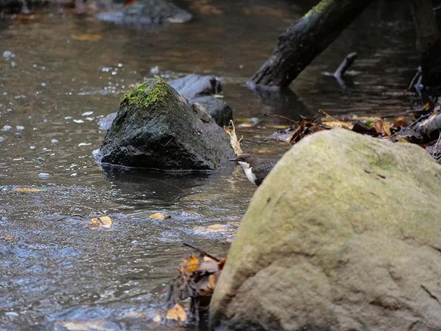 Löydätkö kuvasta tanssivan purolaisen? Tämä upea lintu on jokavuotinen tuttu joka todennäköisesti esiintyy myös huomenna luontopolun avajaisissa klo 14.00.