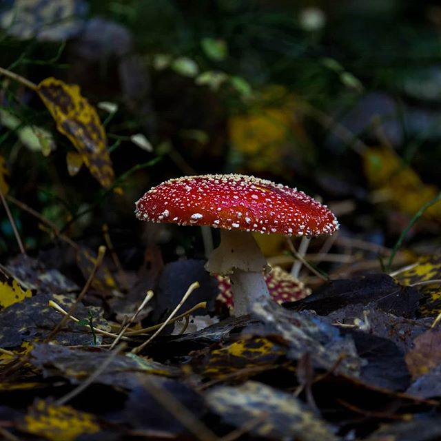 mushrooms-sienet-leaf-longinoja-longinojasyksy-helsinki-finnishnature-finland-luontokuvaus-luonto-fo