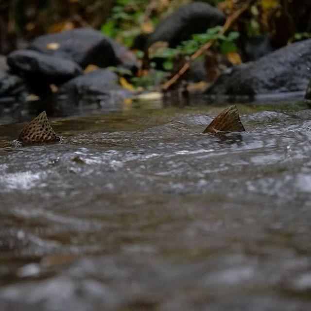Muutama kuva Savelan taimenista. Seuraa meitä myös Facebookissa ja käy tutustumassa longinoja.fi