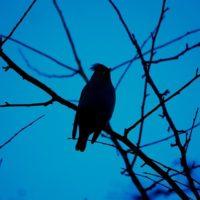 silhouette-evening-bohemianwaxwing-longinoja-luontokuvaus-luonto-birds-birdlovers-birdphotography-na