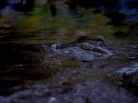 taimen-browntrout-longinoja-longinojasyksy-evening-helsinki-finnishnature-finland-suomenluonto-river