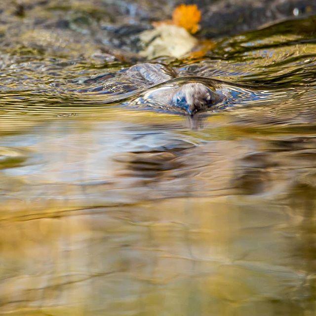 White-throated dipper @longinoja Helsinki, Finland . .