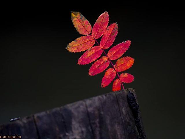 autumncolors-autumn-leaf-syksy-luontokuvaus-luonto-suomenluonto-longinoja-helsinki-metsa-forest-natu