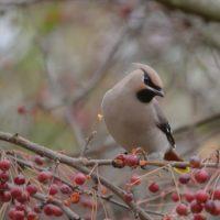 birdphotography-bird-instabird-lintu-helsinki-longinoja-naturelove-naturaleza-natur-nature-loodus-п