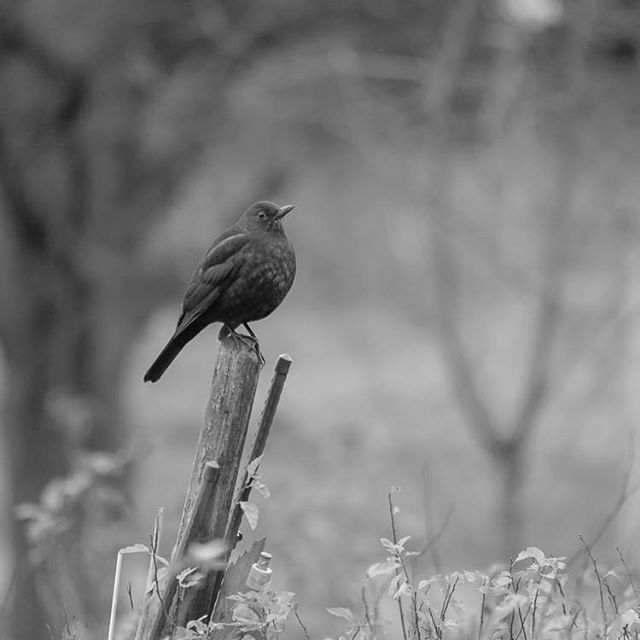 birds-birdlovers-instabird-instanature-bw-blackandwhite-blackandwhitephotography-longinoja-helsinki-