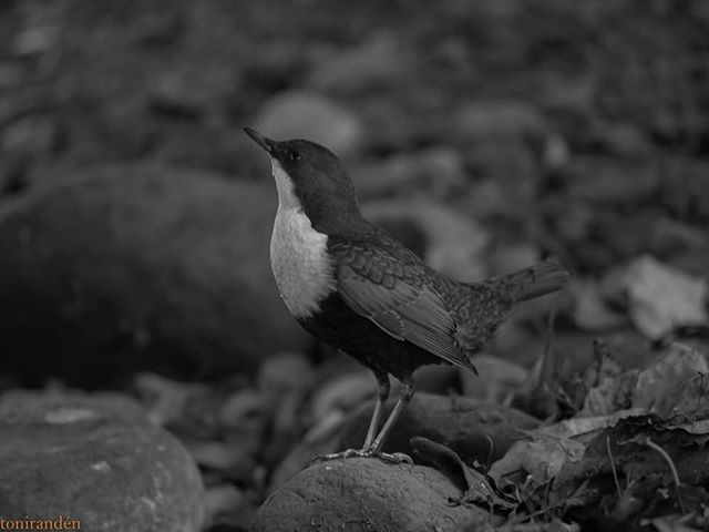 birds-birdlovers-instabird-instanature-bw-blackandwhite-blackandwhitephotography-longinoja-helsinki-1-1