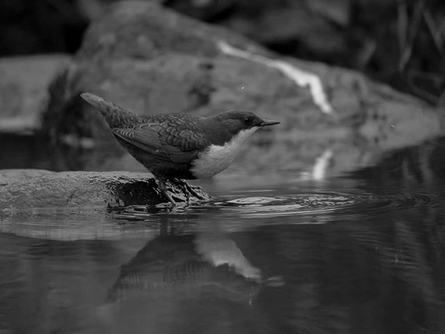 birds-birdlovers-instabird-instanature-bw-blackandwhite-blackandwhitephotography-longinoja-helsinki-1-2