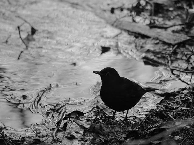 blackbird-bw-blackandwhite-puro-savela-blackandwhitephotography-birds-birdphotography-luontokuvaus-l