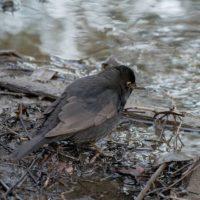blackbird-puro-longinoja-birdphotography-bird-lintu-helsinki-pakkasta-finland-maanantai-suomenluonto