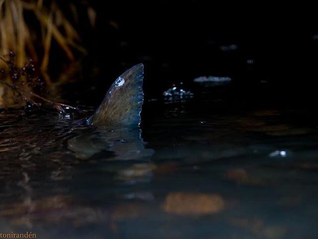 browntrout-taimen-night-yo-finnishnature-finland-luontokuvaus-luonto-lumixgh5-natur-nature-loodus-п