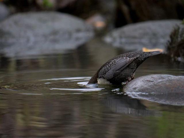 foodtime-birds-birdlovers-instabird-instanature-animal-river-luontokuvaus-luonto-naturaleza-natur-na
