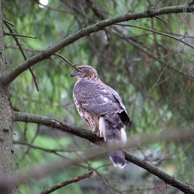 haukka-hawk-longinoja-helsinki-finnishnature-finland-luontokuvaus-luonto-natur-nature-forest-hiking-