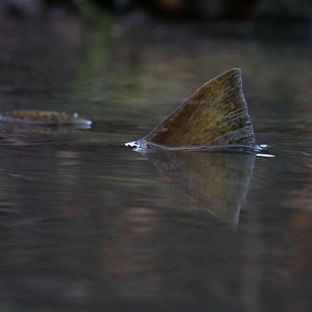 Jokainen pyrstö on toivon pilkahdus. Ehkä kovalla työllä, yhdessä, me pystymme pelastamaan uhanalaisen taimenen. Tältä vuodelta kutu on ohi. Nyt huolehditaan, että vesi pysyy puroissa puhtaana