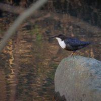koskikara-birdphotography-bird-longinoja-autumn-puro-helsinki-finland-luontokuvaus-luontopolku-suome