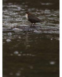koskikara-whitethroateddipper-longinoja-longinojasyksy-helsinki-talvi-winter-birdlifefinland-birdlif-1