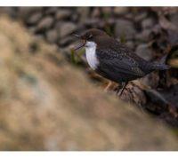 koskikara-whitethroateddipper-longinoja-longinojasyksy-helsinki-talvi-winter-birdlifefinland-birdlif-10