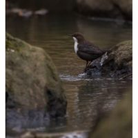 koskikara-whitethroateddipper-longinoja-longinojasyksy-helsinki-talvi-winter-birdlifefinland-birdlif-11