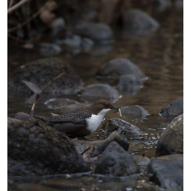 koskikara-whitethroateddipper-longinoja-longinojasyksy-helsinki-talvi-winter-birdlifefinland-birdlif-12