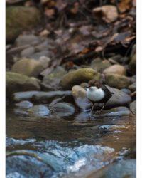 koskikara-whitethroateddipper-longinoja-longinojasyksy-helsinki-talvi-winter-birdlifefinland-birdlif-2