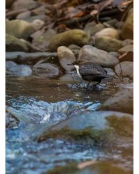 koskikara-whitethroateddipper-longinoja-longinojasyksy-helsinki-talvi-winter-birdlifefinland-birdlif