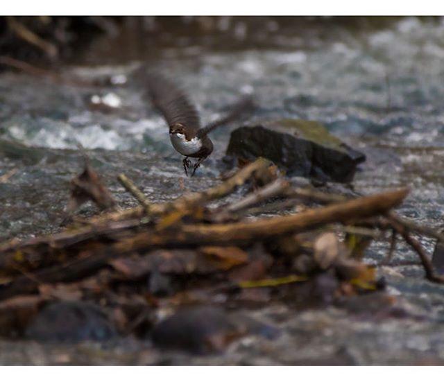 koskikara-whitethroateddipper-longinoja-longinojasyksy-helsinki-talvi-winter-birdlifefinland-birdlif-3