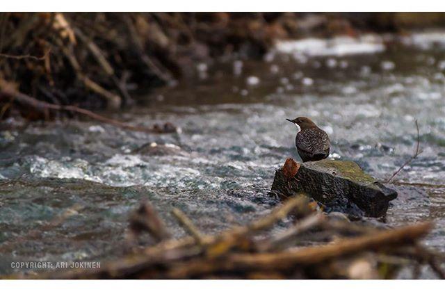 koskikara-whitethroateddipper-longinoja-longinojasyksy-helsinki-talvi-winter-birdlifefinland-birdlif-4