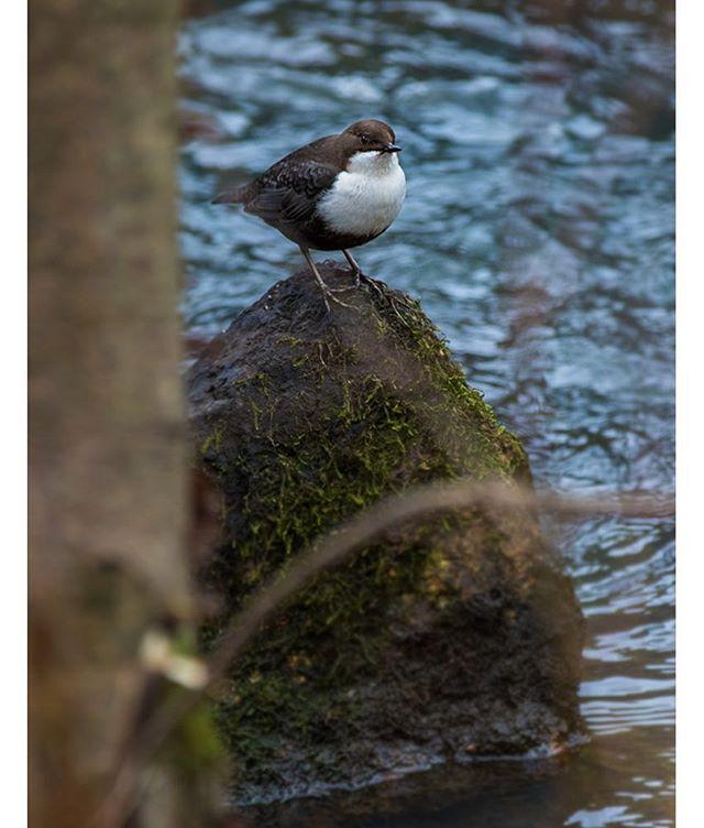 koskikara-whitethroateddipper-longinoja-longinojasyksy-helsinki-talvi-winter-birdlifefinland-birdlif-5