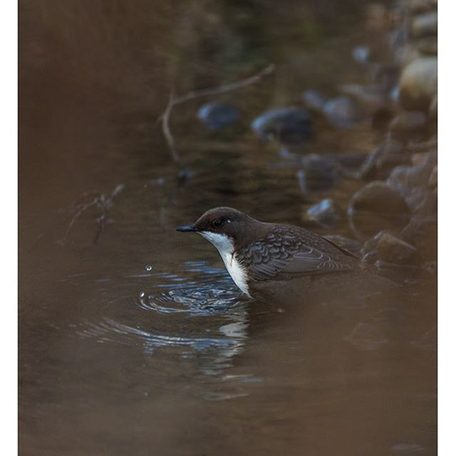 koskikara-whitethroateddipper-longinoja-longinojasyksy-helsinki-talvi-winter-birdlifefinland-birdlif-6