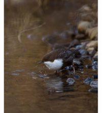 koskikara-whitethroateddipper-longinoja-longinojasyksy-helsinki-talvi-winter-birdlifefinland-birdlif-7