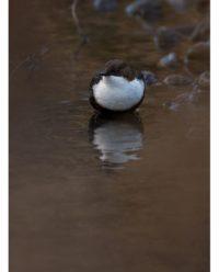 koskikara-whitethroateddipper-longinoja-longinojasyksy-helsinki-talvi-winter-birdlifefinland-birdlif-8