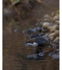 koskikara-whitethroateddipper-longinoja-longinojasyksy-helsinki-talvi-winter-birdlifefinland-birdlif-9