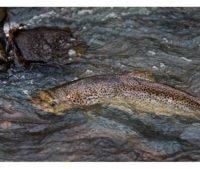 longinoja-longinojasyksy-taimen-trout-kutu-spawn-salmotrutta-puro-sream-creek-nature-naturephoto-nat-1
