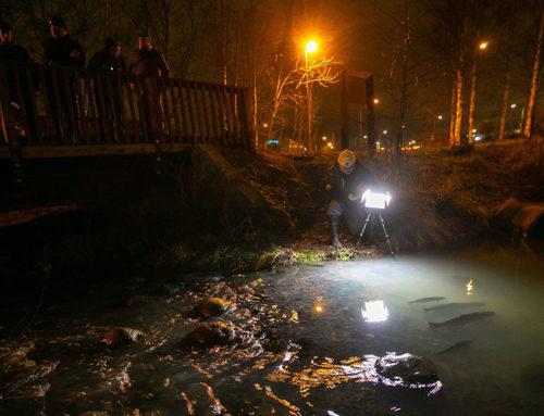 Yle Areena: Juha Laaksosen luontoretki  Longinojan taimenia voi ihailla kuka tahansa