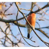 punatulkku-bullfinch-longinoja-longinojasyksy-helsinki-talvi-winter-birdlifefinland-birdlife-birdpho-1