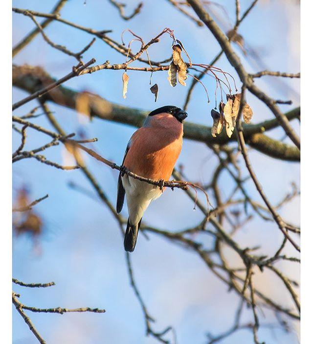 punatulkku-bullfinch-longinoja-longinojasyksy-helsinki-talvi-winter-birdlifefinland-birdlife-birdpho