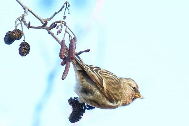 urpiainen-commonredpoll-longinoja-lintukuva-birdphoto-naturephoto-luontokuva-lintukuvaus-linnut_kuva