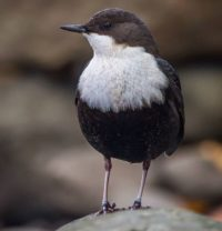 White-throated dipper @longinoja Helsinki, Finland . .