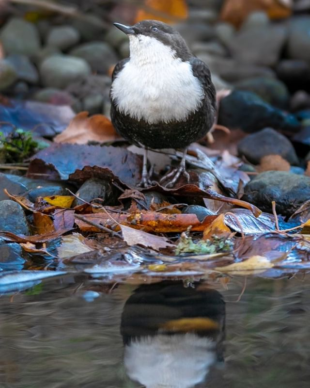 White-throated dipper, at Longinoja, Helsinki