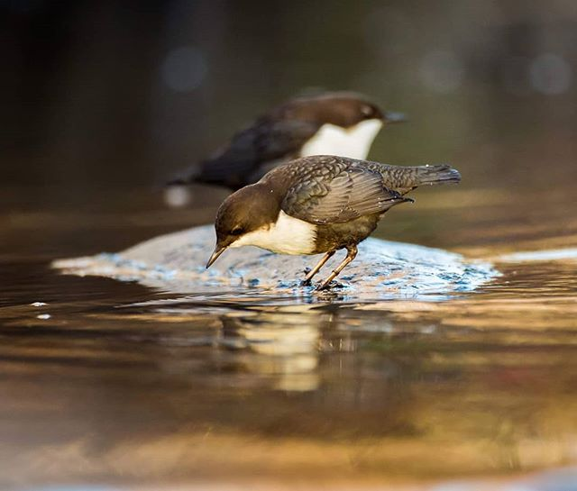 White-throated dippers @longinoja Helsinki, Finland . .